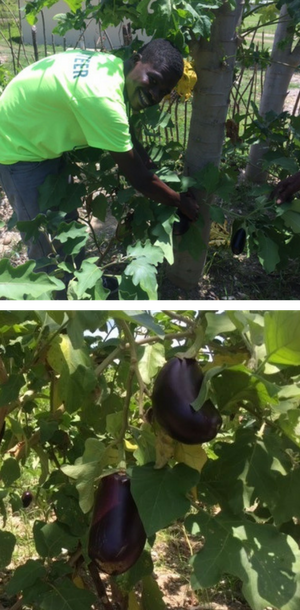 Junior St Louis & eggplants